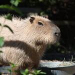 Capybarra-150×150