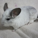 Chinchilla-150×150