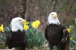 Eagle1-300×199