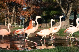 Flamingos-300×199