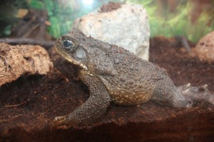 Giant-Marine-toad-300×200