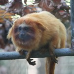Golden-Lion-Tamarin1-150×150