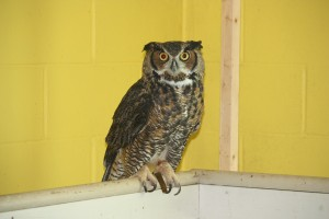 Great-Horned-owl-300×200