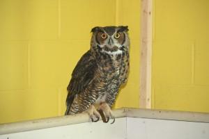 Great-Horned-owl-300×200