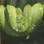 Green-Tree-Python-150×150