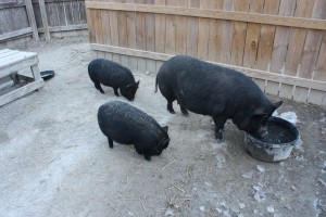Guinea-Hogs-August-liter-006-300×200