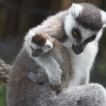 Lemur-with-child-150×150