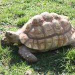 Leopard-Tortoise-150×150