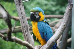 Macaw-carl-300×199