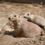 Mom-baby-Prairie-Dogs-150×150