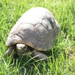 Red-Footed-Tortoise-150×150