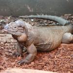 Rhinoceros-Iguana-150×150