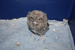 Screech-Owl-baby-300×199