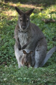 Wallaby-Joey2-199×300