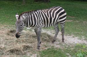 Zebra2-300×199