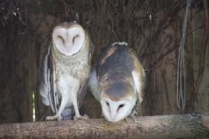 barn-owl1-300×200