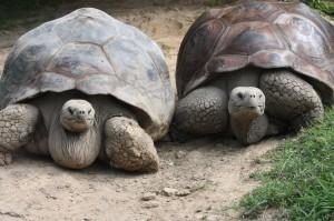 galapagos-tortoise-3-300×199