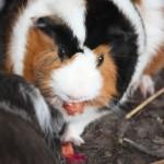guinea-pig-150×150