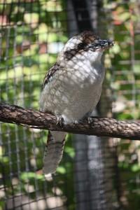 kookaburra1-200×300