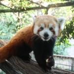 red-panda-150×150